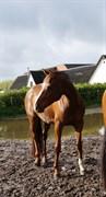 Hest til salg - SALINA-K