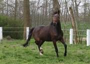 Hest til salg - TANKEDALS ZAGAL