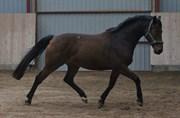 Hest til salg - ZEUS ÁG