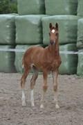 Hest til salg - STÆREBOGÅRDS CHICAGO