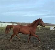 Hest til salg - LOHMANN'S KITT