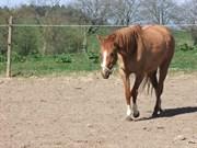 Hest til salg - NØRLUNDS LADY RIHANNA